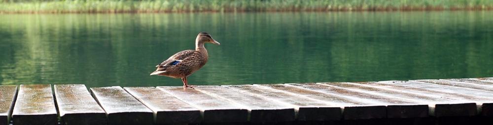 cropped-duck-the-wild-duck-lake-bridge-1621303.jpeg